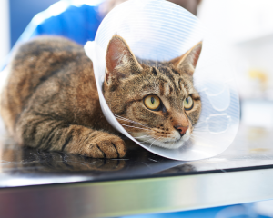 Cat with recovery collar